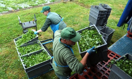 Bins of watercress being loaded on to a lorry near Alresford, Hampshire
