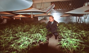 Peel police Costable Barrett Hagopian examines marijuana plants in basement of home on Bridgewood Drive in Mississauga.