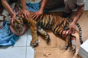 A sick Sumatran tiger cub is treated at a wildlife refuge in Pekanbaru, Indonesia