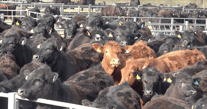 Revealed: industrial-scale beef farming comes to the UK