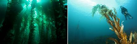 Kelp forest heathy (L) vs degraded (R)