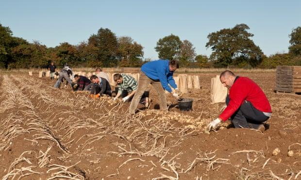 Potatoes being harvested by migrant seasonal workers.