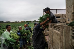 Farmworkers hand over the collard green bunches that they harvested in the Rio Grande Valley in Texas.