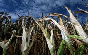 Dortmund, Germany: Dried corn plants