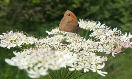 A meadow brown butterfly on a flower
