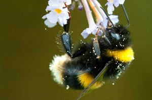Buff-tailed Bumblebee (Bombus terrestris) collecting pollen in garden, southern England, Hampshire, UK