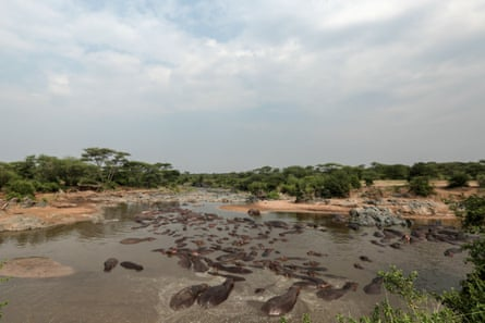 Hippos bathe in Serengeti National Park, west of Arusha, northern Tanzania.