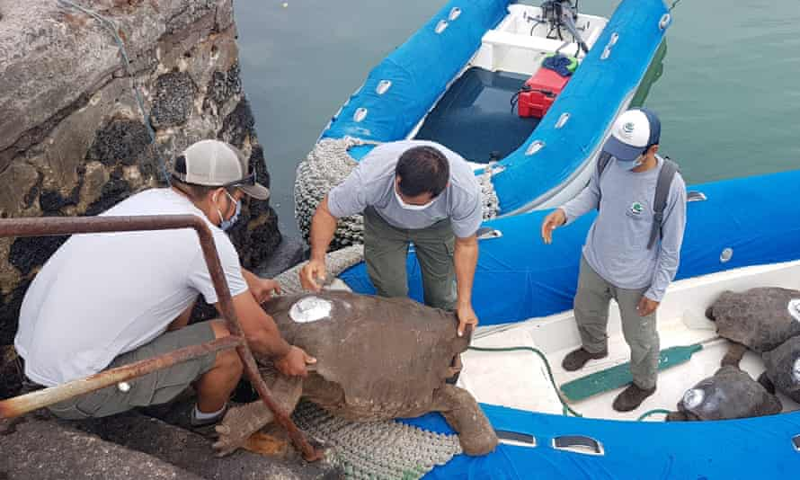 Diego, the Galápagos breeding turtle, returns home after 87 years.
