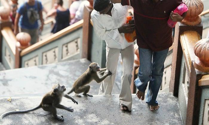Mugged by macaques: the urban monkey gangs of Kuala Lumpur