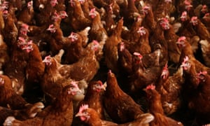 The poultry sector says there will not be any fipronil found in the chicken meat as the birds do not live long enough for lice to be an issue.