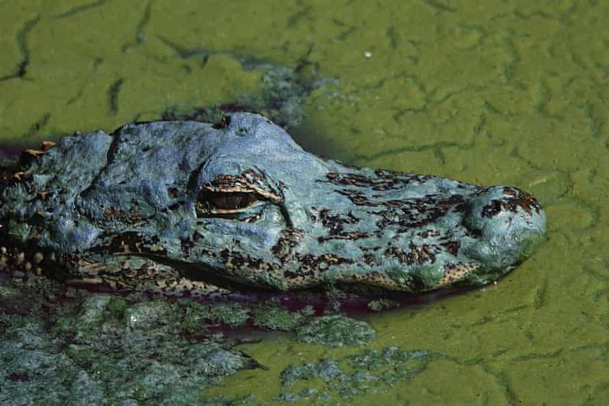 An alligator floats in an algae bloom in Lake Okeechobee on 26 April.