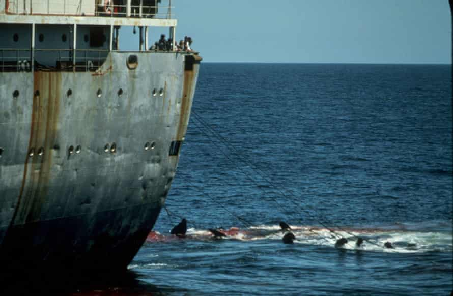 Dead whales being dragged along behind factory ship Dalniy Vostok.
