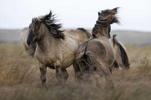 A group of konik horses in De Slufter, Texel, the Netherlands