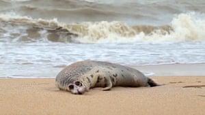 body of a dead Caspian seal on a beach in Makhachkala