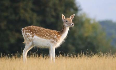 A fallow deer at Knole.