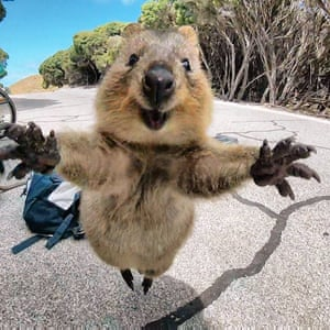 "An enthusiastic quokka chases after Campbell Jones who had stopped to photograph the creatures on Western Australia's Rottnest Island. ""I put down the GoPro and it jumped at me as if to say 'come back',"" Jones said."