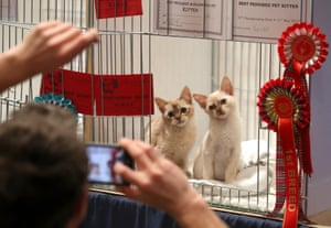 Tortie shaded Burmese kittens are photographed at the Nor' East of Scotland Cat Club and the Siamese Cat Society of Scotland championship show, held at the Caird Hall in Dundee
