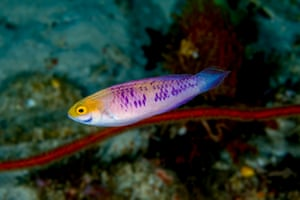 A fairy wrasses in the dimly lit mesophotic coral reefs of eastern Zanzibar, off the coast of Tanzania