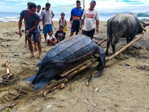 Villagers looking at a dead giant leatherback sea turtle in Bula, the Philippines