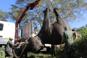 One of the first 15 of 60 wild elephants is moved after being darted prior to being re-located to Mozambique from South Africa. With peace having come to many parts of Mozambique after a civil war in the 1980s areas of their wildlife and conservation lands are being re-stocked with wildlife. These elephants are the first to arrive in their new home in Zinave National Park in Inhambane province barely 37 hours later