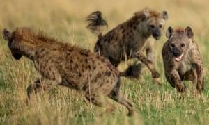 Fighting hyenas, Masai Mara game reserve, Kenya