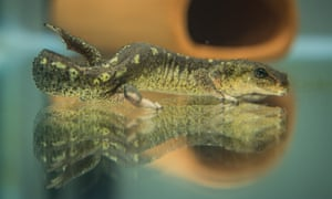 The Montseny newts are listed as critically endangered by the International Union for the Conservation of Nature