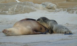 A sea lion mother and pup at normal weight.