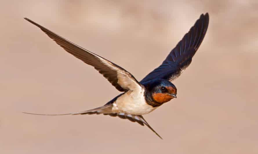 A swallow flying low over a beach
