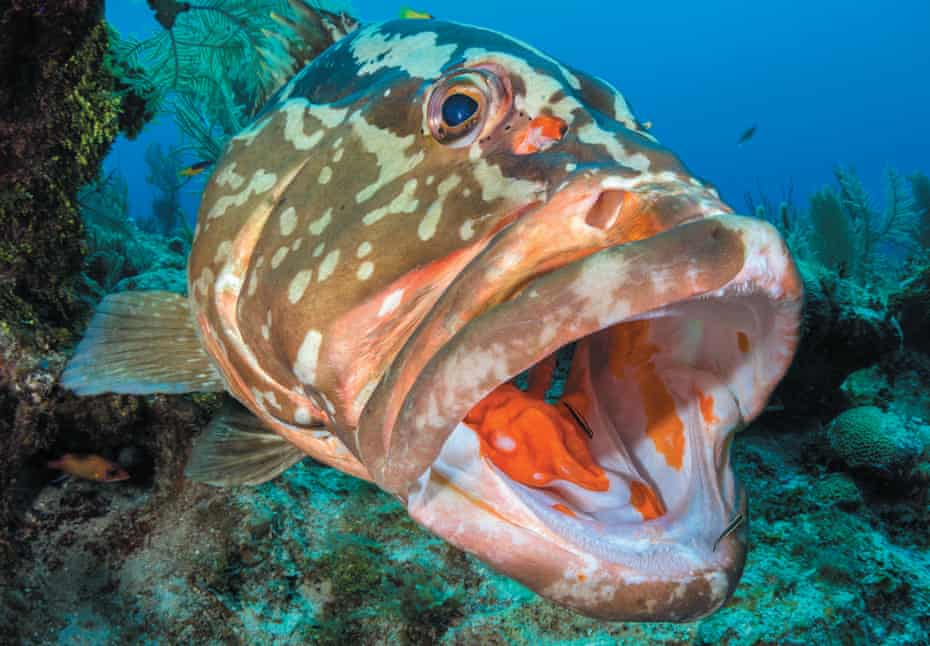 A Caribbean nassau grouper, from Reef Life by Callum Roberts.