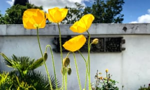 Rising tall: yellow Welsh poppies thriving on Allan's sunny roof terrace.