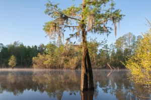 Bald Cypress and willows on a foggy morning in Congaree National Park, South Carolina