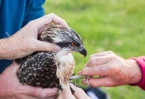 Young ospreys in the Lake District being ringed and fitted with a satellite transmitter.