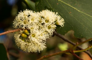 The flower of a Eucalyptus regnans