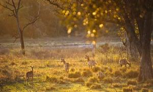A small herd of Sambar Deer, Rajaji national park, Uttarakhand, India.