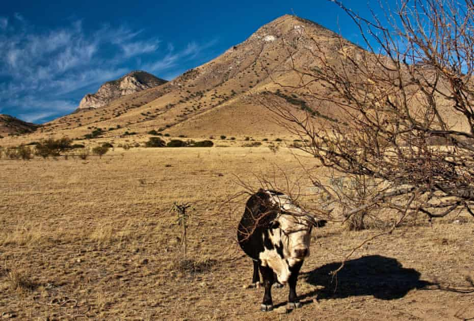Cattle farming in the San Pedro Valley, Arizona.