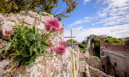 Valerian growing in the walls of Carisbrooke Castle, the Isle of Wight.