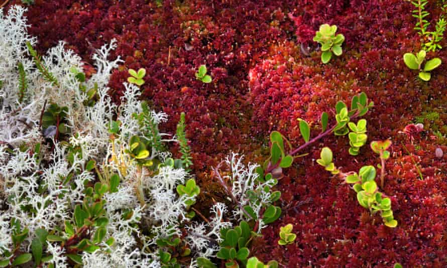 Sphagnum moss in the Cairngorms national park, Scotland.