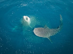 The researchers used nitrogen and carbon isotopes to provide a record of the animal's feeding and movement, giving a 'biological passport' for whale sharks.