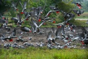 An African grey parrot flock in Lango Bai, Odzala-Kokoua national park