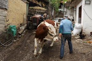 A man walks with a cow