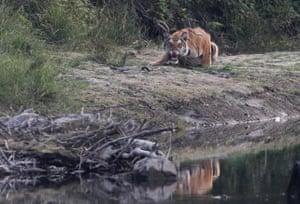 A royal Bengal tiger at Bardiya National Park in Nepal.