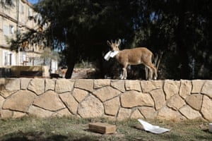A Nubian ibex walks along a wall after snatching a piece of paper, in Mitzpe Ramon.