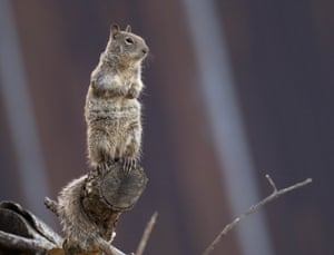 A ground squirrel keeps watch from its perch on a brush pile near a barn along a country road near Elkton in rural western Oregon, US.