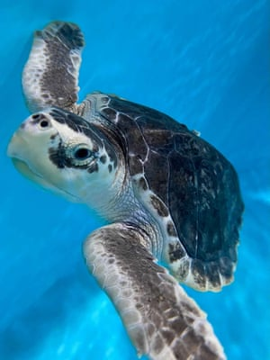 An endangered Kemp's ridley sea turtle at the Audubon Nature Institute. The turtle arrived with kidney failure, a ruptured right eye and severe pneumonia after being cold-stunned and rescued from frigid New England waters. Vets hope to have it healthy enough for release this summer