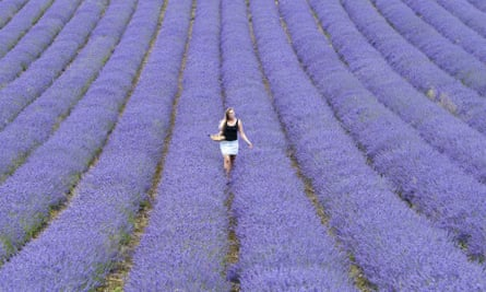 A lavender field in west Sussex.