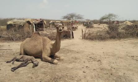 Animals from Ayub Amin Jat's herd