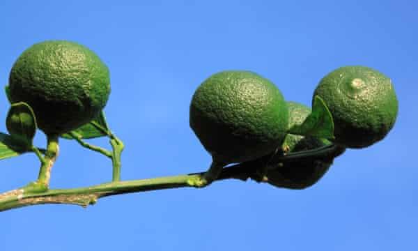 Green satsumas on a tree.