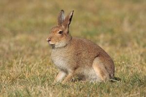 An Irish hare