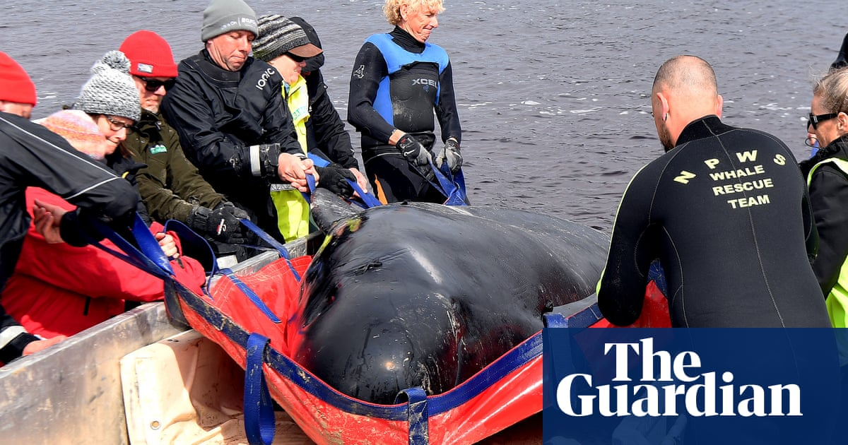 Tragedy in Tasmania: what are pilot whales and why do they strand themselves? – The Guardian