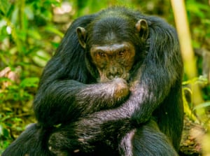 One of numerous chimpanzees in Kibale national park, Uganda, who have lost legs, arms, toes and fingers through human use of wire snares.
